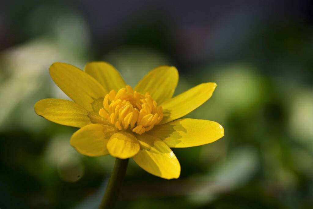 リュウキンカ咲く