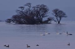 琵琶湖の水鳥たち