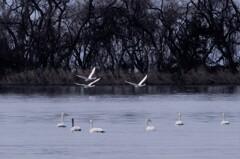 琵琶湖の白鳥 ―さきにいくよ~。―