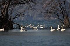 コハクチョウのいる風景 ~琵琶湖~