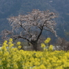 余呉の一本桜
