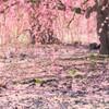 梅は散り見頃