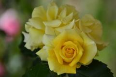 黄薔薇の魅力