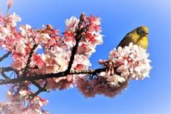 熱海桜・・・