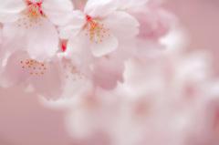 咲く らら