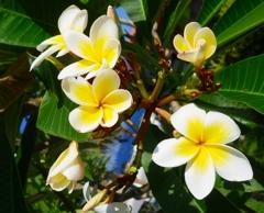 沖縄の花 その14