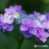 紫陽花しぐれ