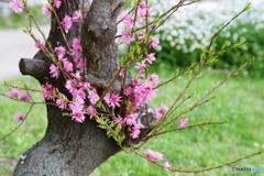 再生する菊桃