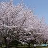 山田池公園満開
