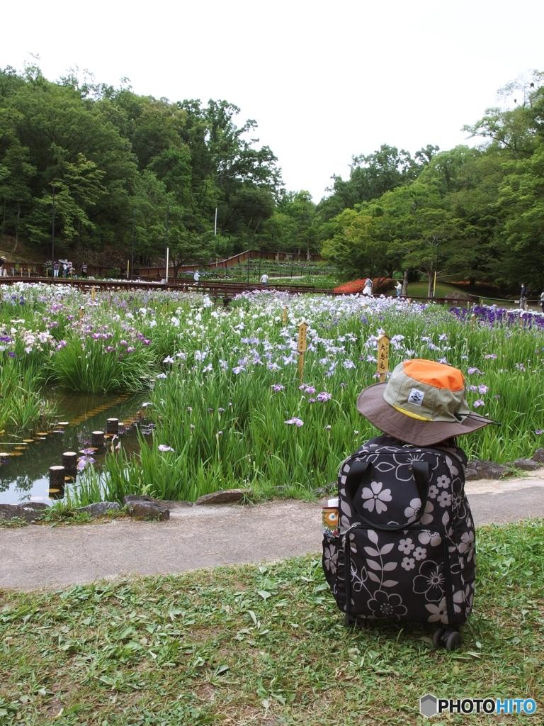 山田池公園菖蒲園