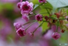 数珠掛け桜 ジュズカケサクラ