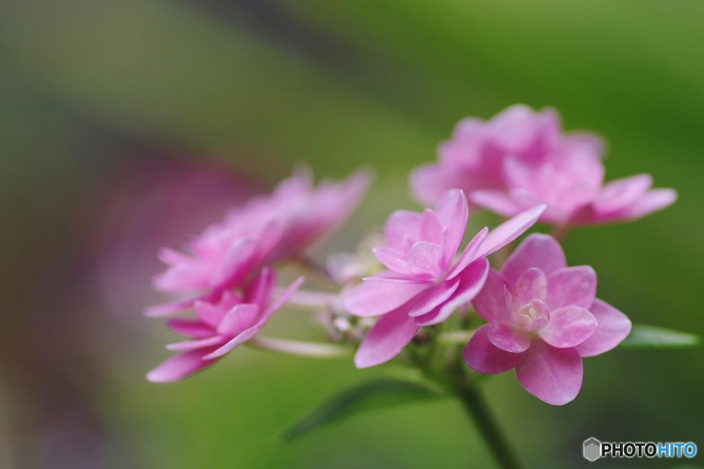 乙女紫陽花