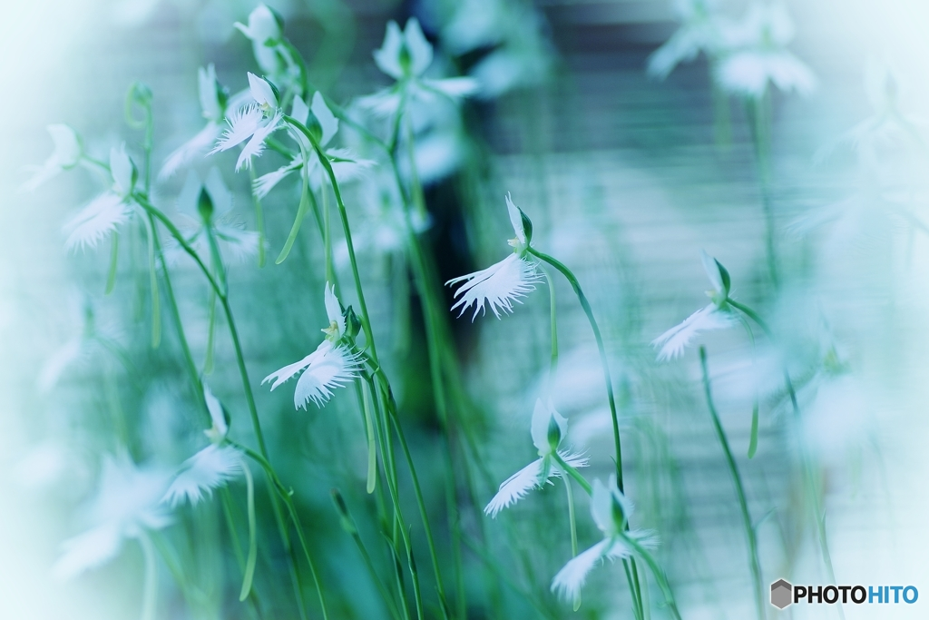 坐摩神社の鷺草 壱