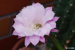 仙人掌の花