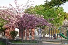 満開の八重桜は