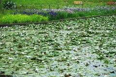 白鷺公園 花しょうぶと睡蓮のお出迎え