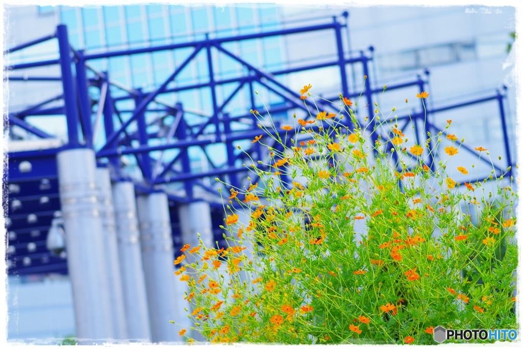 キバナコスモスの咲く駅で