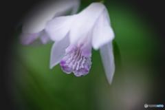 神秘な紫蘭