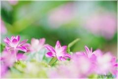 紫陽花はじまりました