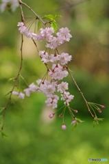 男爵さまの枝垂れ桜③