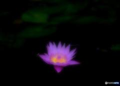 Shine of lotus