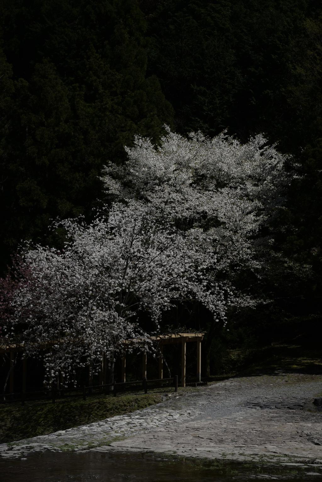 孤独な桜の佇まい