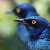 南パラの青い鳥