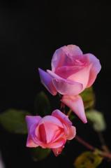 夜の公園で見つけた薔薇