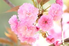 桜色の人生