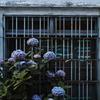 奥の紫陽花
