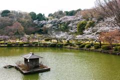 薬師池の桜