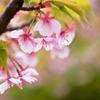 もう一度、河津桜