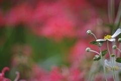 秋明菊と彼岸花2
