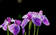 花ショウブ