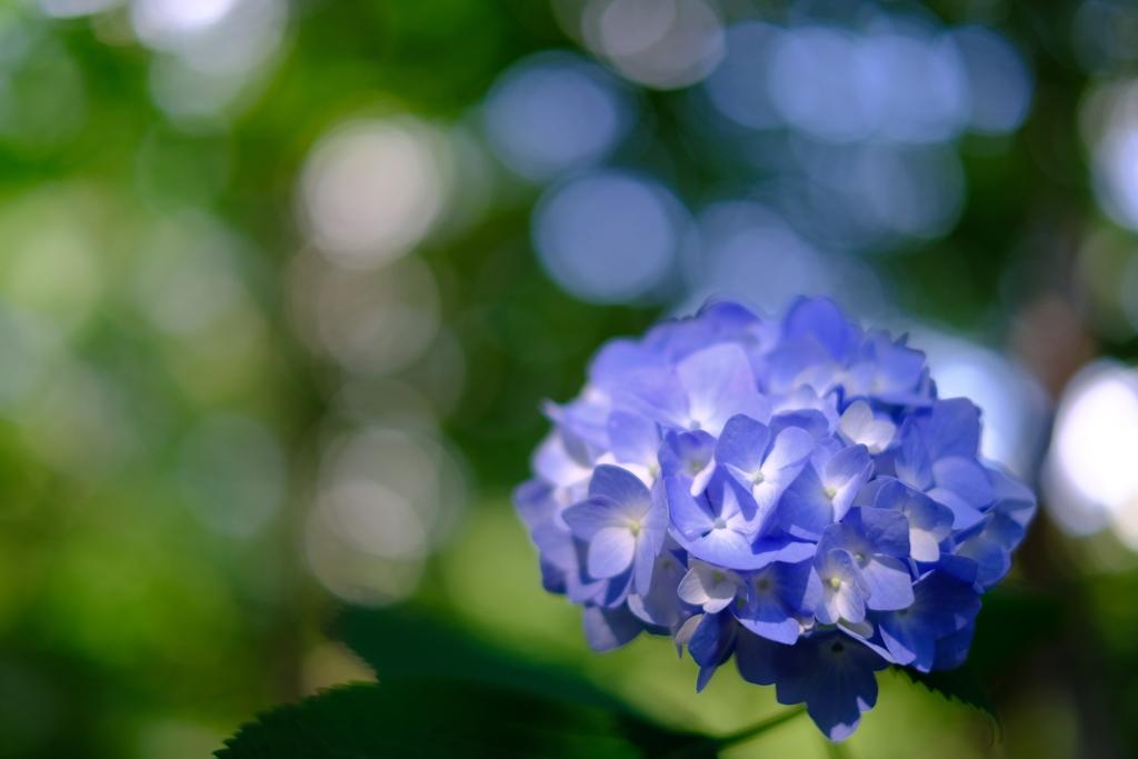 青いあじさい