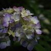 夜散歩紫陽花
