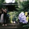 寺 紫陽花