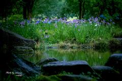 花菖蒲の咲く水辺 2
