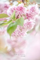 桜色の想い