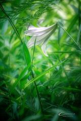 初夏の森に咲く Ⅳ