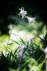 初夏の森に咲く Ⅶ