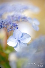 紫陽花 -Light-