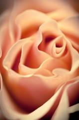 薔薇の造形美