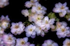 風変わりな紫陽花 2