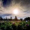 夕暮れのダリア畑