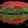 彼岸花の咲く水辺