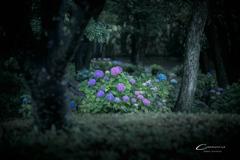 紫陽花の咲く森