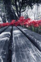 彼岸花の咲くベンチ