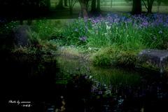 花菖蒲の咲く水辺