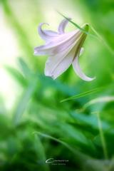 初夏の森に咲く Ⅱ